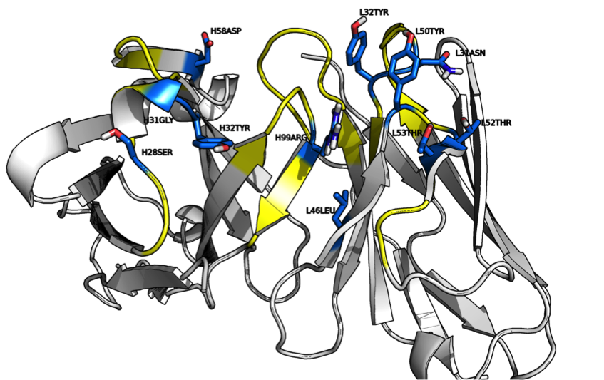 The idea behind the paper is to identify certain positions within the Ab structure for mutation and hopefully find an Ab with a higher binding affinity.