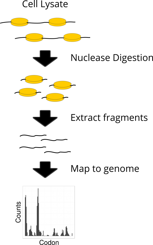 A simplified schematic of ribosome profiling. Ribosome profiling begins with separating a cell's polysomes (mRNA with ribosomes attached) from its lysate. Erosion by nuclease digestion removes all mRNA not shielded by a ribosome while also cleaving ribosomes attached to the same mRNA strand. Subsequent removal of the ribosomes leaves behind only the mRNA fragments which were undergoing translation at the point of cell lysis. Mapping these fragments back to the genome gives a codon-level resolution transcriptome-wide overview of the translation occurring within the cell. From this we can infer the optimality associated with any given codon from any given gene.