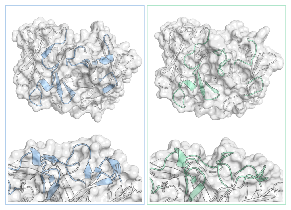An antibody that exists as two different structures in equilibrium - one with a shallow binding site (left, blue, PDB code 1OAQ) and one with a deep, narrow cleft (right, green, PDB 1OCW). Complementary determining regions are coloured in each case.