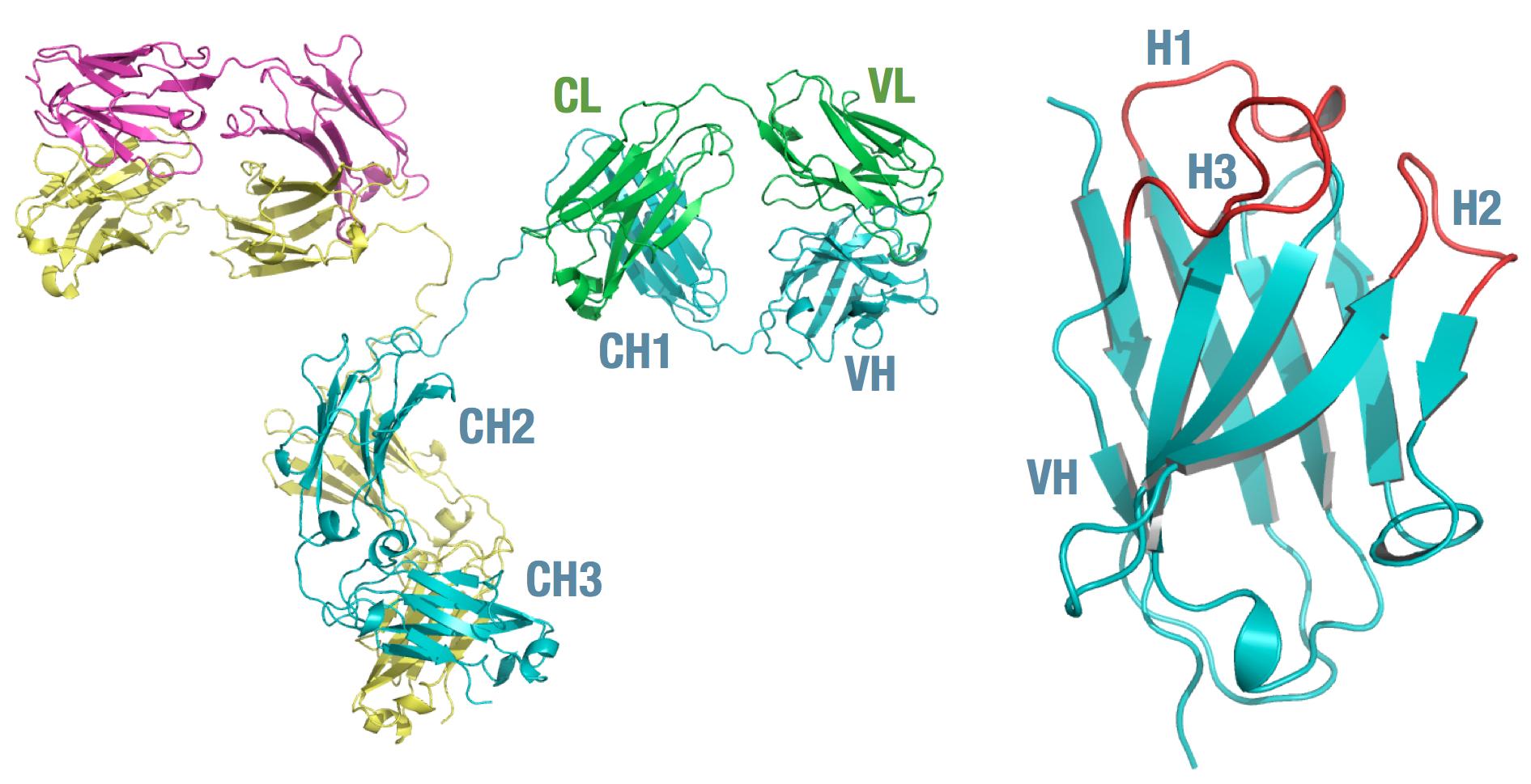 Immunoglobulin g igg structure